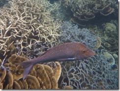 Fisch über Korallenbank